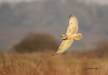 Winter Owls at Rye Harbour
