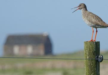 a photograph at Rye Harbour nature reserve. Shows a redshank bird sat on a fence post, with old lifeboat hut in the background.