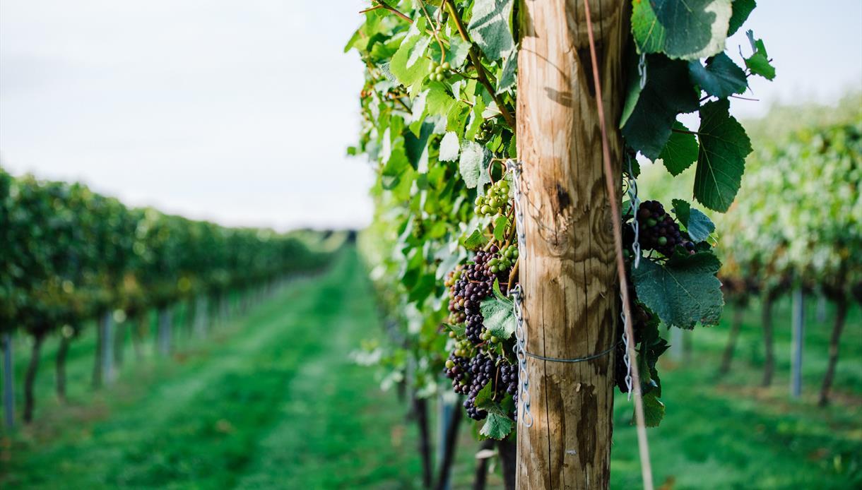 Vines at Charles Palmer Vineyard in East Sussex at Charles Palmer Vineyard in East Sussex