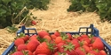 PYO sussex, Strawberrrys Tibss, Pick your own, farm, fruit picking, cafe, Tibbs