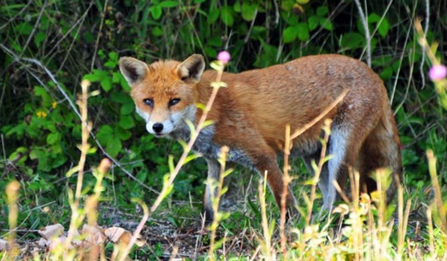 a photograph of a fox standing before a hedge.