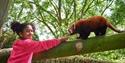 A child feeding a red panda at Drusillas Park
