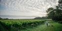 Vineyards at Gusbourne Estate, Appledore, Kent.