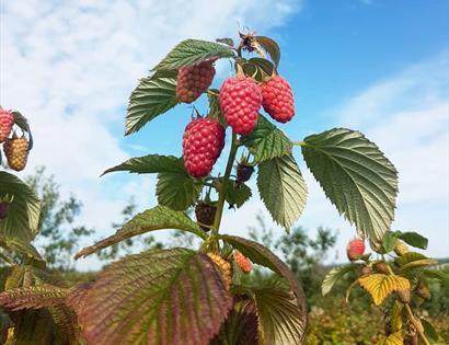 Raspberries at Tibbs Farm