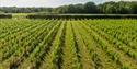 Vineyards at Oxney Organic Vineyard in Beckley, near Rye, East Sussex. © Sam Moore