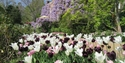 PASHLEY MANOR GARDENS Tulipa White Triumphator, Pink Diamond and Queen of the Night in East Sussex
