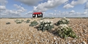 Red roof hut and sea kale at Rye Harbour Nature reserve