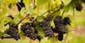 Grapevines at Oxney Organic Vineyard in Beckley, near Rye, East Sussex. ©GoneWild