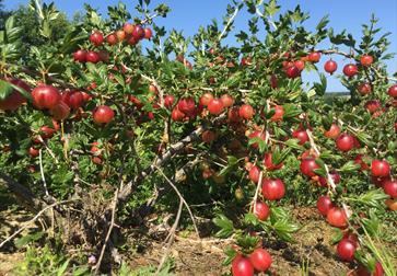 PYO Gooseberries at Tibbs Farm