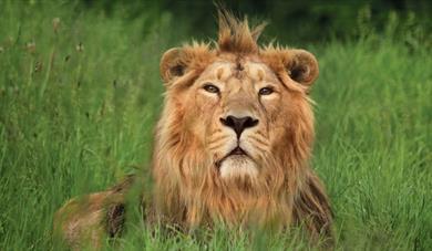 Rana, Asiatic Lion, Cotswold Wildlife Park & Gardens