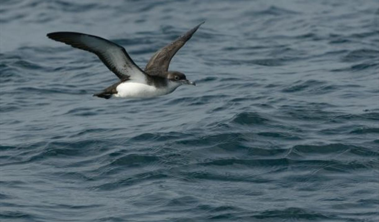 Meet the Manxies: Surveying the Shearwaters