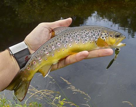 A wild Manx brown trout