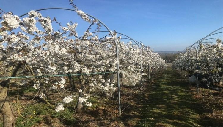 Image of fruit trees in blossom, Isle of Wight, Local Produce, Godshill Orchards, Godshill