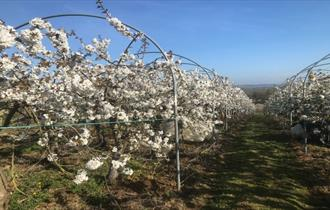 Image of fruit trees in blossom, Isle of Wight, Local Produce, Godshill Orchards, Godshill