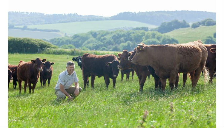 Man standing around cows in a field at Cheverton Farm, Isle of Wight Meat Co, local producers, local produce, let's buy local