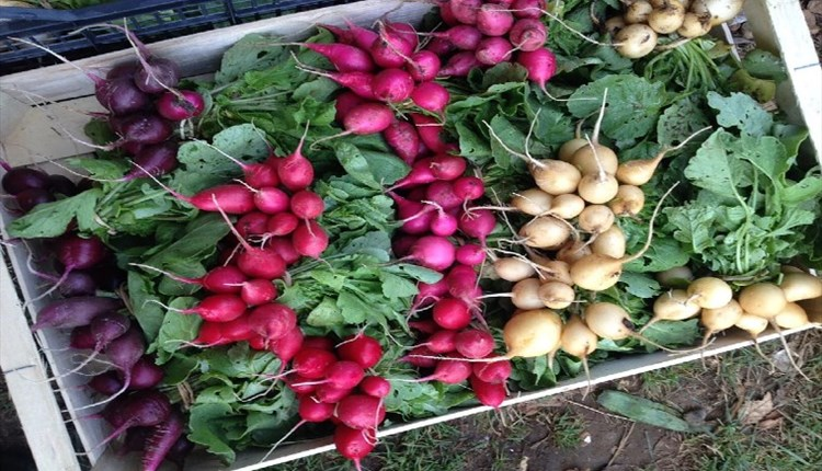 Image of freshly pulled radish of different colours, Living Larder, Local Produce, Ventnor, Isle of Wight