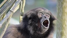 Mueller's Gibbon at Monkey Haven, sanctuary, Isle of Wight, Things to Do