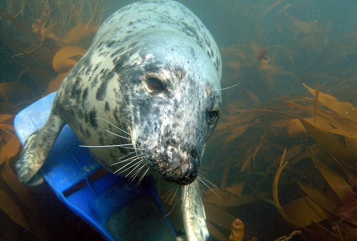 Scilly Seal Snorkelling