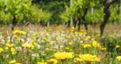 Wildflowers on the Vineyard