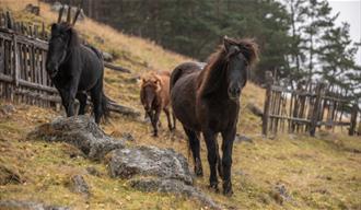Icelandic horses at Fjelleventyret.