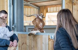 A ram greets and enthralls visitors at the farm.