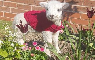 Lamb at Ridgeway Farm