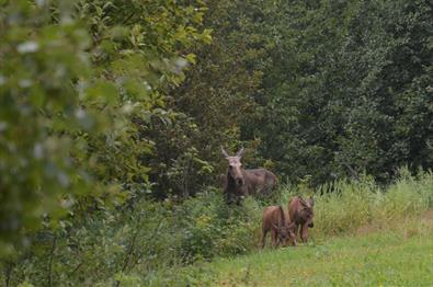 Moose with twin calves