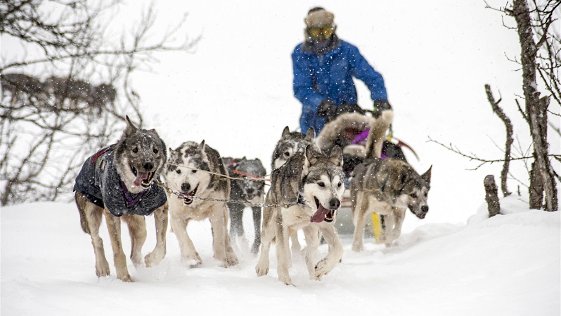 Dog sledding at Venabu