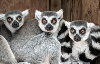 A lemur at Porfell Wildlife Park