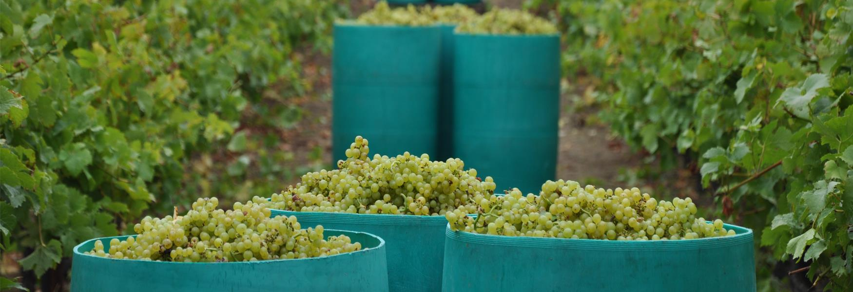 Grape Harvest at Biddenden Vineyard