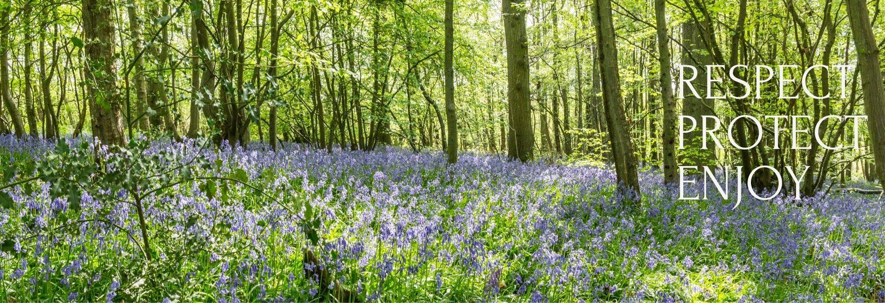Bluebells on the Hucking Estate, part of the Woodland Trust Property at Maidstone, Kent on the North Downs