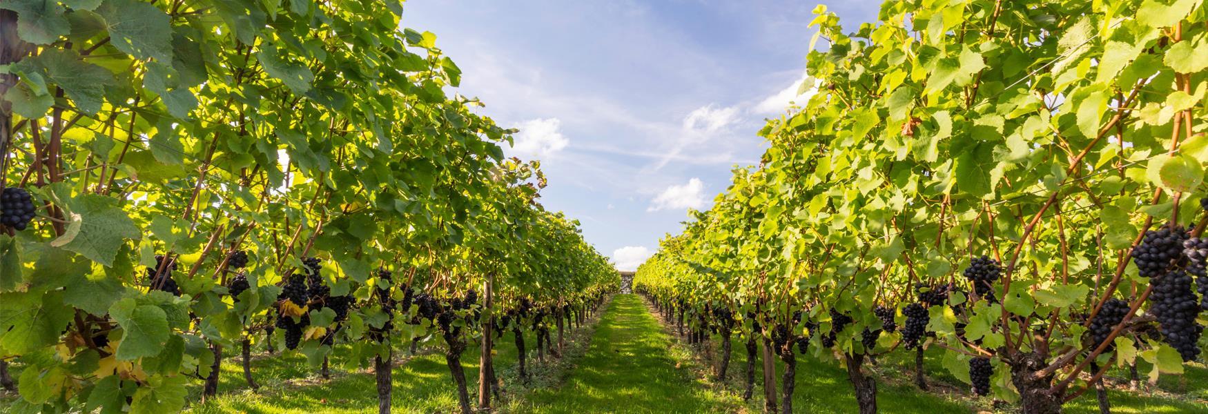 Take a stroll among Hush Heath's Vines