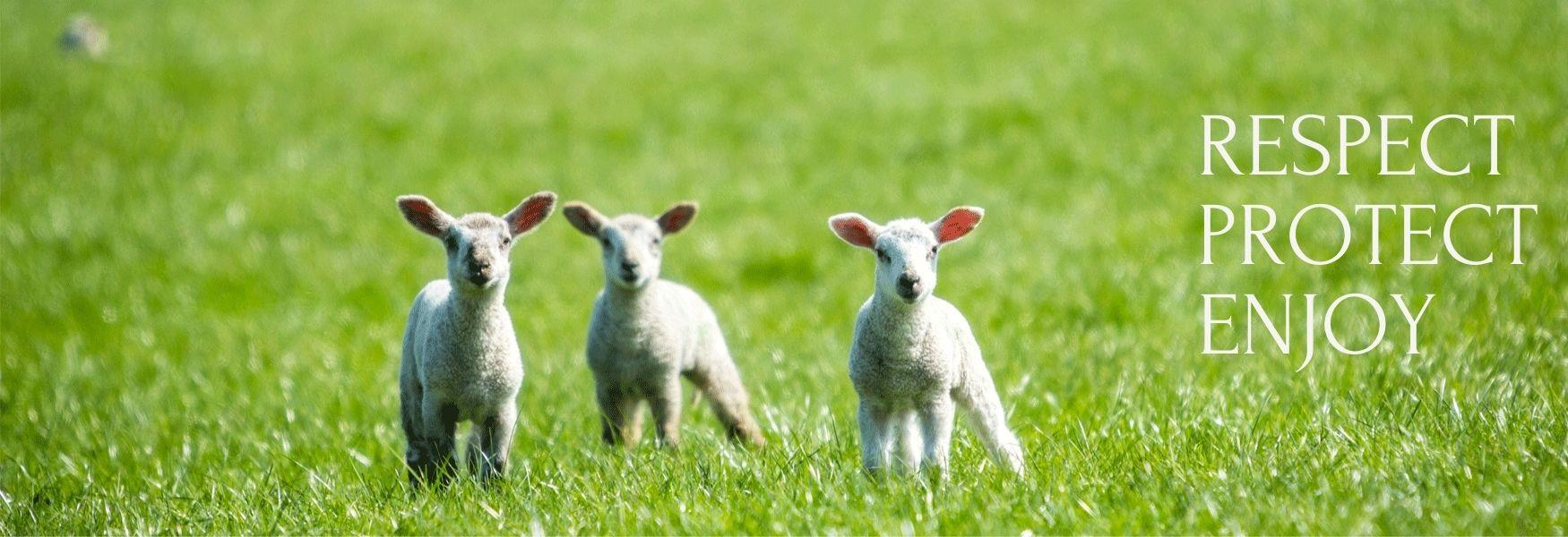 Kentish lambs born and living on the North Downs   Maidstone