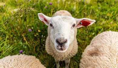 Sheep looking directly at camera