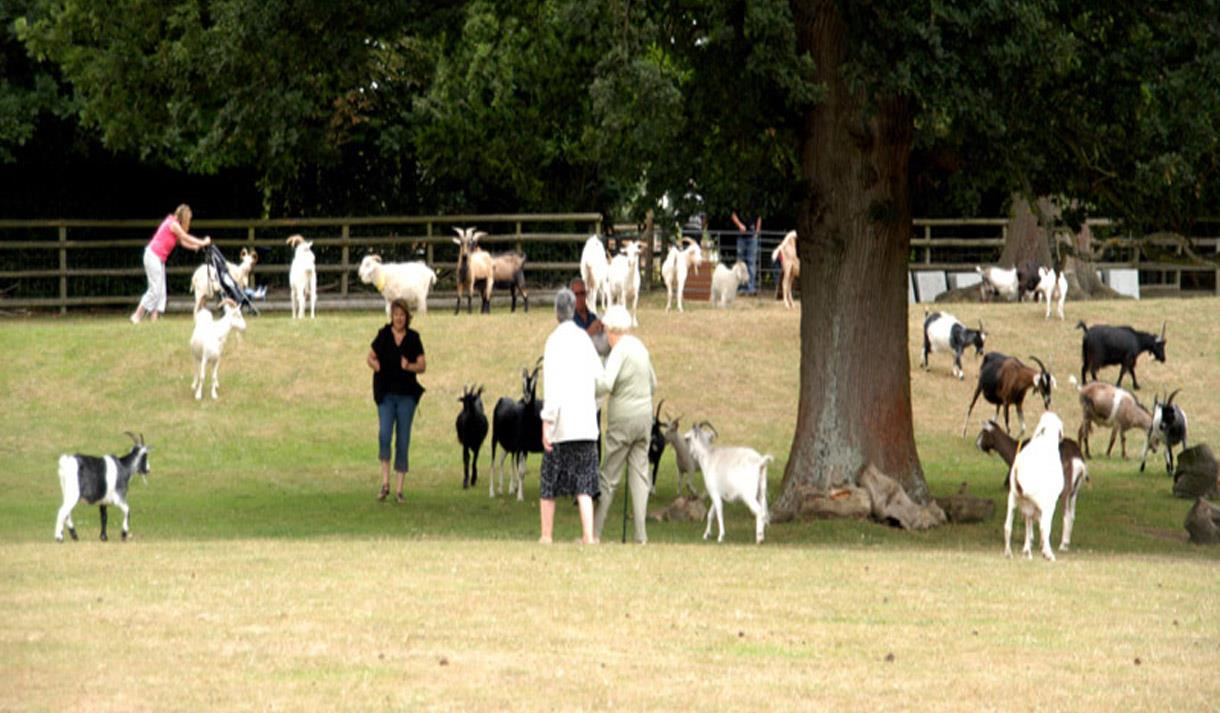 Field of goats at Buttercup Goat Sanctuary