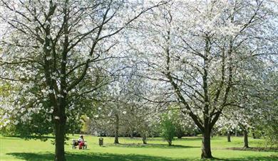 Cobtree Manor Park Cherry Blossom