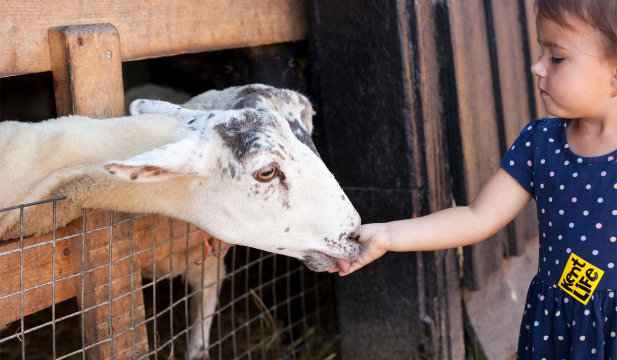 Child with a goat at Kent Life Heritage Farm Park