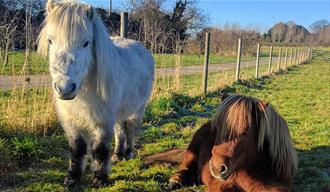 Orlando and Pumpkin the ponies