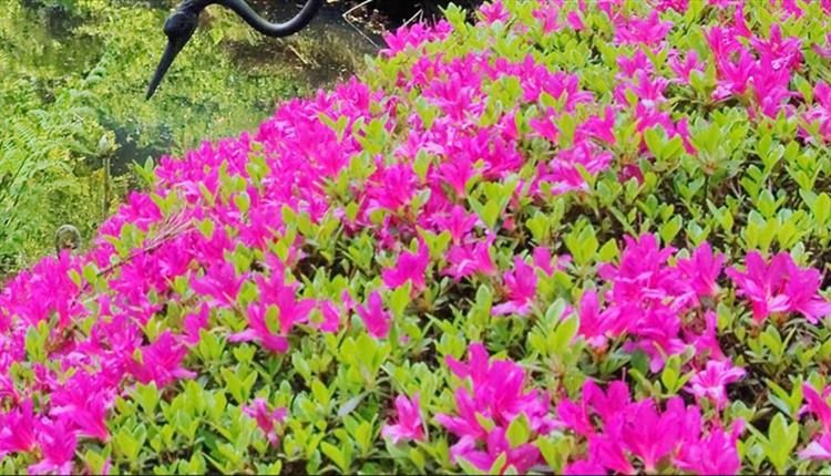Bramhall Park - Flowers