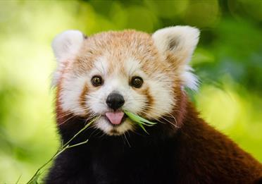 Red panda, green background