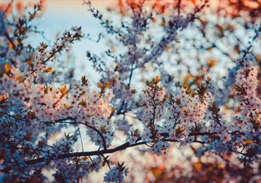 Close-up Photography of Cherry Blossom