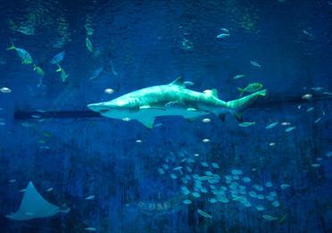 Photo Of Grey Shark