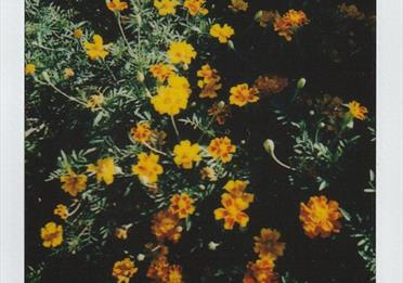 Yellow Marigolds in Bloom