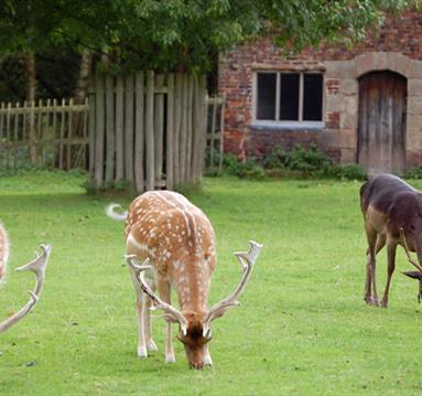 Deers in Dunham Park