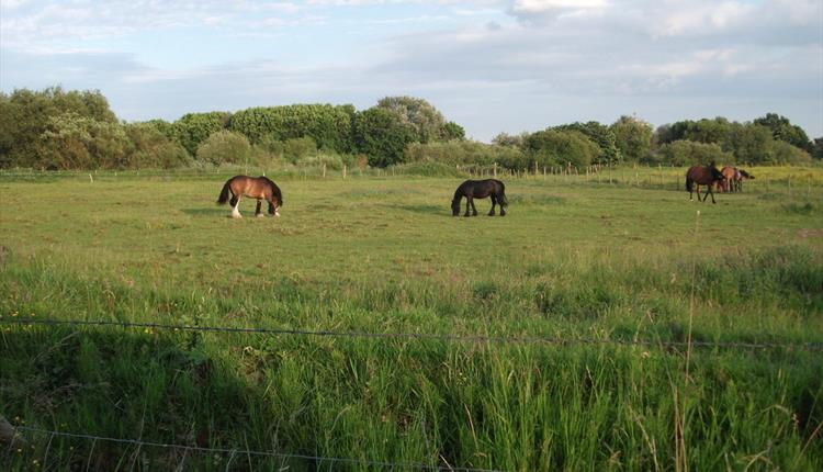 Horses grazing in Urmston Meadows
