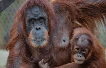 An adult orangutan and their baby holding each other.