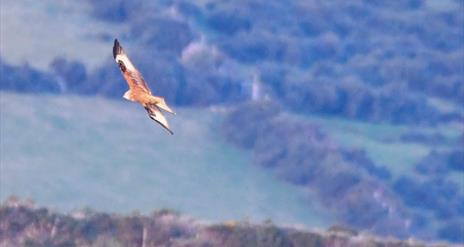 Pitcure of a red kite in full flight.