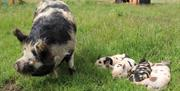Sow with 4 baby piglets on grass