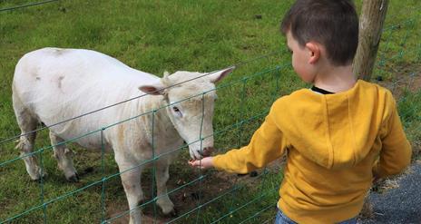 Small boy feeding goat