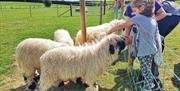 Image shows children petting sheep in a field